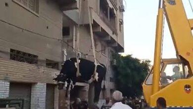 """Photo of رفع عجل أضحية بـ""""ونش"""" لذبحه فوق السطوح هربا من الغرامة"""