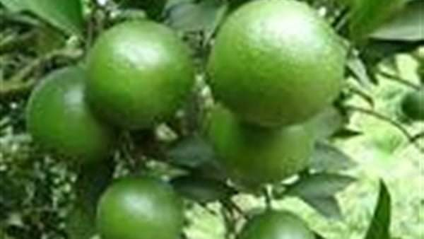 البرتقال الأخضر وفوائده الكثيرة المذهلة التي لا يعرفها البعض